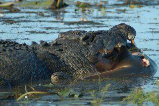 Огромный крокодил разорвал акулу надвое