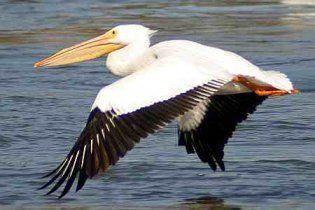 На львовском озере поселился пеликан