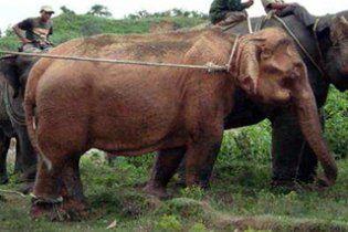 У М'янмі впіймали рідкісного білого слона-альбіноса