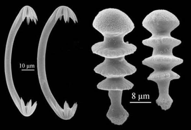 """Самые удивительные биологические открытия XXI в. : """"скромный фаллос"""" и мочалка-киллер"""