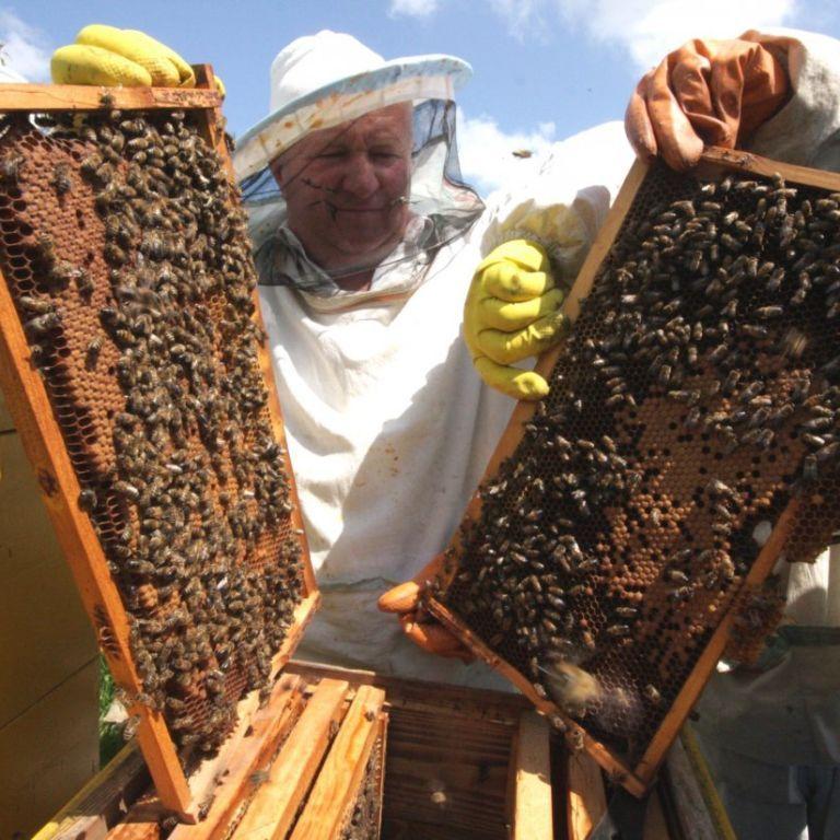 Пасічники б'ють на сполох: через оброблення хімікатами полів гинуть бджоли
