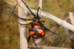Через спеку до Києва мігрують отруйні павуки і терміти