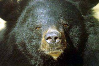 Ведмідь вкрав з будинку опудало родича