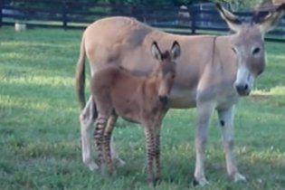 Гибрид осла и зебры появился на свет в заповеднике в США