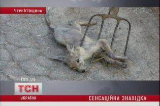 На Чернігівщині спіймали та вбили дитинча чупакабри