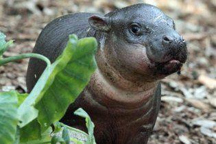 В Австралии детеныш карликового гиппопотама впервые показался публике