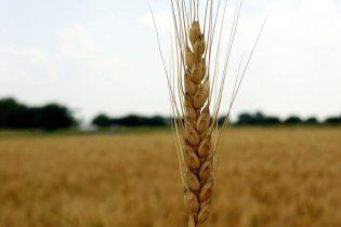 Експорт українськї пшениці скоротився утричі