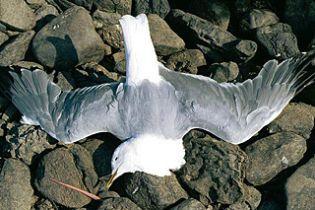 В Австралии таинственно гибнут чайки