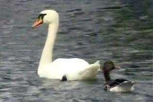 Пара белых лебедей усыновила гусей (видео)