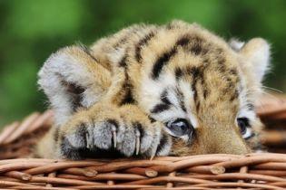 Парк Тиргартен похвастался своим 121 тигром (видео)