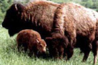 В Винницком зоопарке родился бизон (видео)