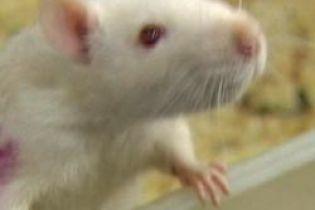 В Киеве растет количество крыс (видео)