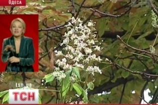В Одессе цветут каштаны (видео)