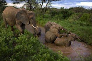 Слоны будут рассылать SMS