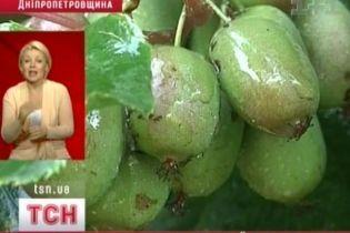 Жительница Днепропетровской области собрала урожай киви (видео)