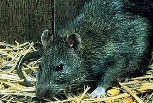 Из-за жары в Киеве увеличилось количество крыс