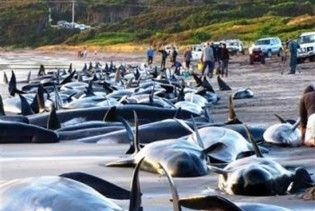 Более сотни черных дельфинов выбросились на берег Новой Зеландии