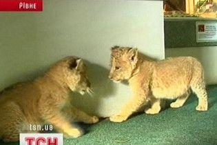В Ровенском зоопарке родились три львенка