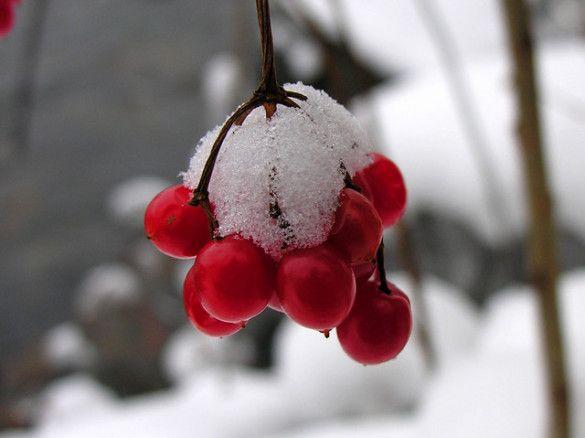 Калина під снігом