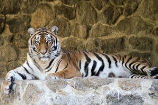 В Киевском зоопарке медленно умирает тигр