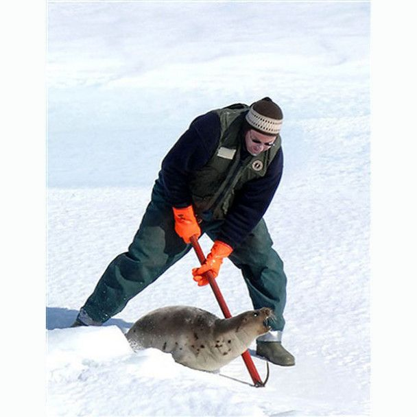 Канадские депутаты призвали мир присоединиться к убийству тюленей и ввели обед из их мяса