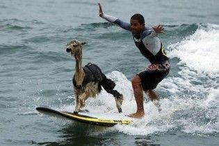 Перуанец научил альпаку кататься на доске для серфинга