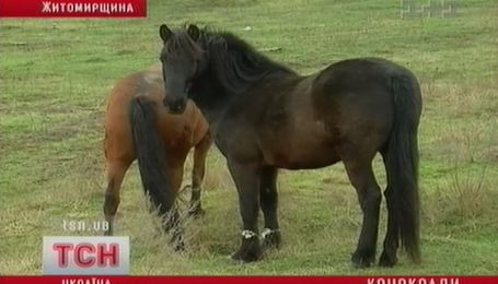 Лошадей все меньше, но конокрады не перевелись