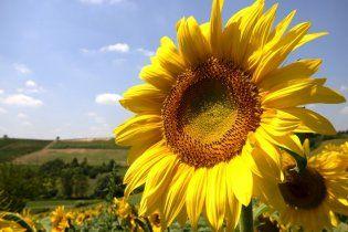 Украина собрала рекордный урожай подсолнуха