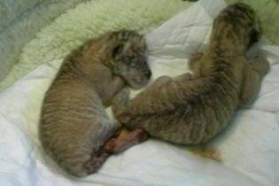 В тайваньском зоопарке тигрица родила трех детенышей от льва