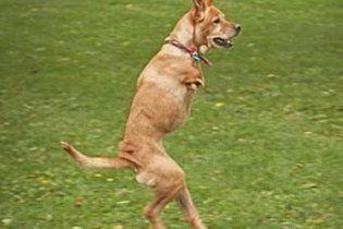 Дволапий собака став сержантом американської армії