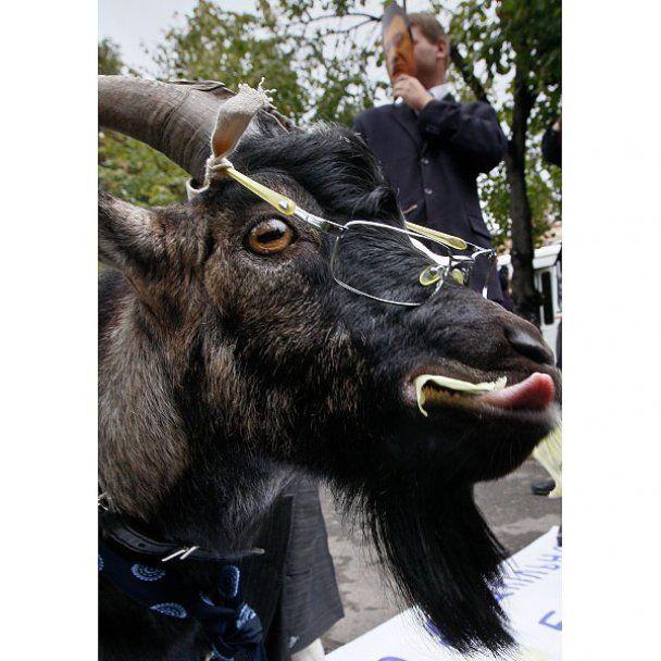 В Минобразования привели козла в очках и галстуке
