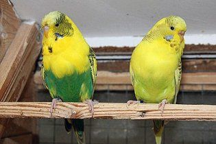 Британец раздавил ногами 10 волнистых попугаев