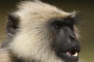 На Играх Содружества спортсменов будут охранять обезьяны