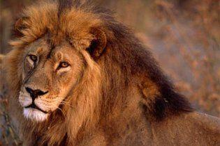 Во Львове во время циркового представления лев напал на дрессировщика