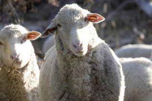 В Украине поставят на учет всех коз, коров и овец