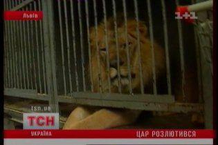 Лева, який напав на дресирувальника у Львові, відправлять до зоопарку