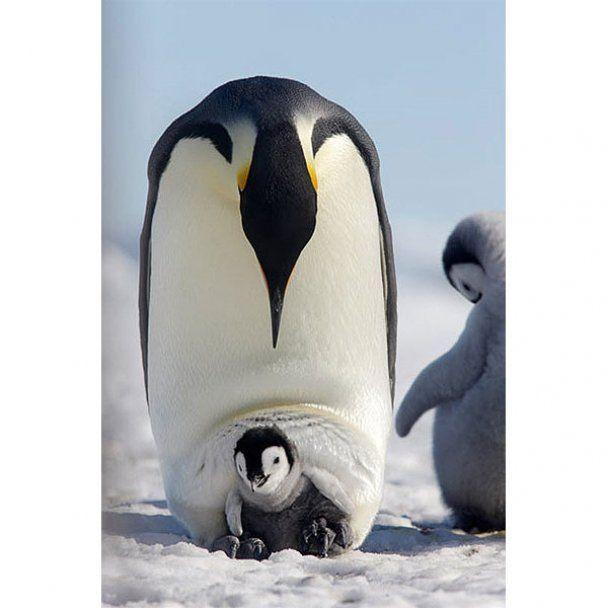 З життя імператорських пінгвінів у Західній Антарктиді