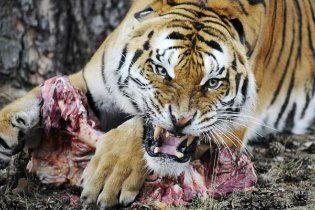 Тигр розтерзав китайського садівника, який впав у вольєр