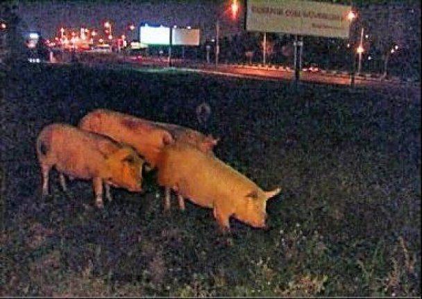 ДТП у Києві: одна свиня загинула, інші розбіглися