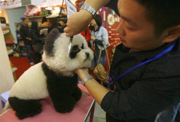 """У Китаї роблять із собак """"панд"""" і розфарбовують пуделів"""