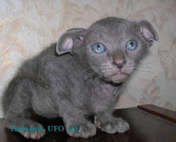 Первого украинского кота-левкоя кастрировали