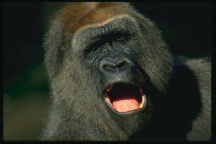 Київський зоопарк збирає гроші на телевізор для депресивного горили