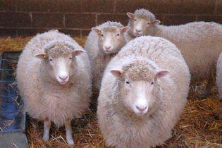 Вчені створили чотирьох клонів знаменитої вівці Доллі