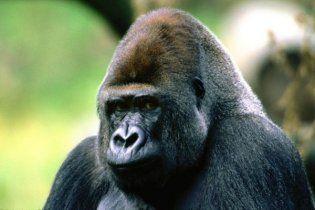 Депресивному горилі з Київського зоопарку подарували телевізор