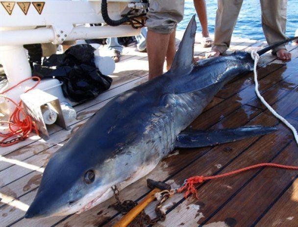 В Єгипті підозрюють, що акул-людожерок уже декілька