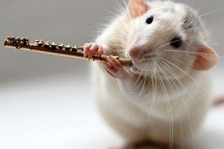 Учені виростили щурів з людськими мізками
