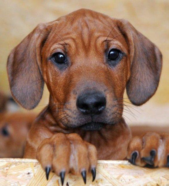 Собака народила 17 цуценят_2
