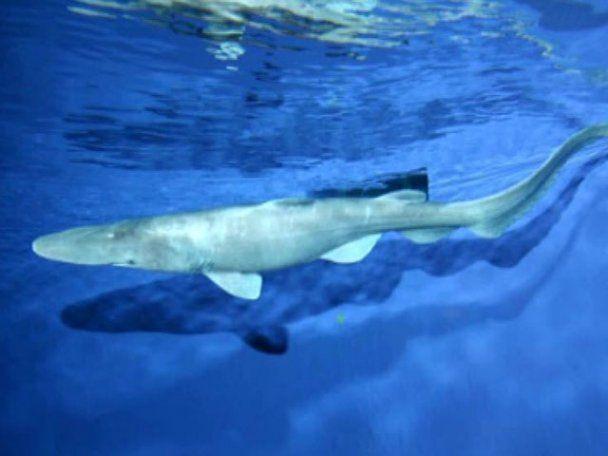 Біля берегів Севастополя виловили акулу-гобліна