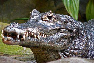 Наводнение вызвало нашествие крокодилов в Австралии
