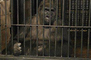 Толстоухов-молодший та його колеги відібрали телевізор у зажуреного горили